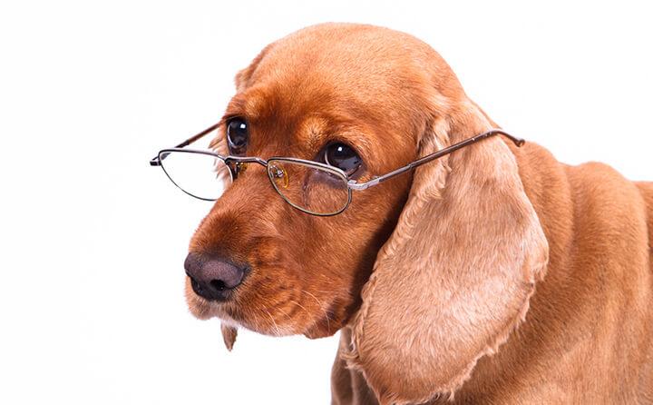 垂れ耳の犬がかかりやすい病気と耳掃除の方法