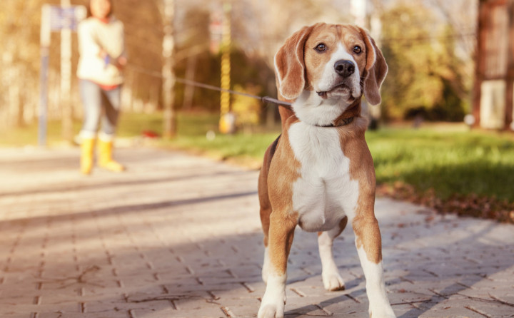 犬が引っ張る原因は何か?引っ張り癖を直すトレーニングも紹介!