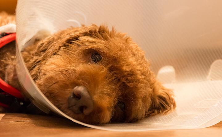 犬の去勢・避妊のメリットとデメリット