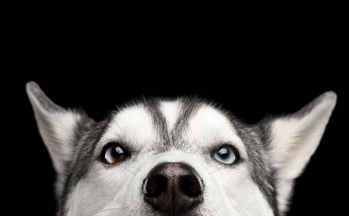 早めの手術で治るかもしれない、犬の白内障の原因と治療法