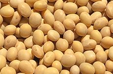 北米産大豆
